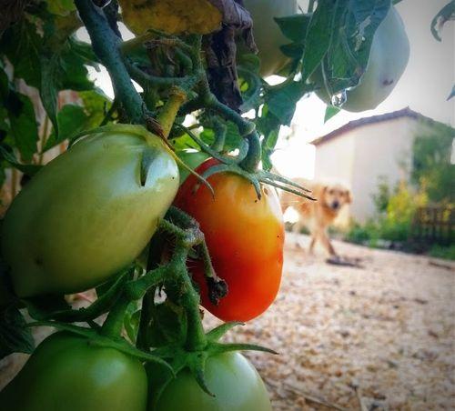 1-smokey tomato