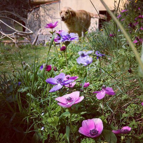 Smokey-anemones