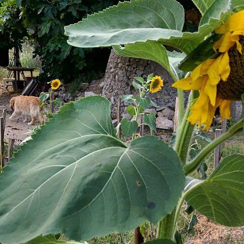 Breizh-sunflowers