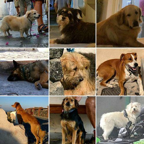 Dogs-of-santorini