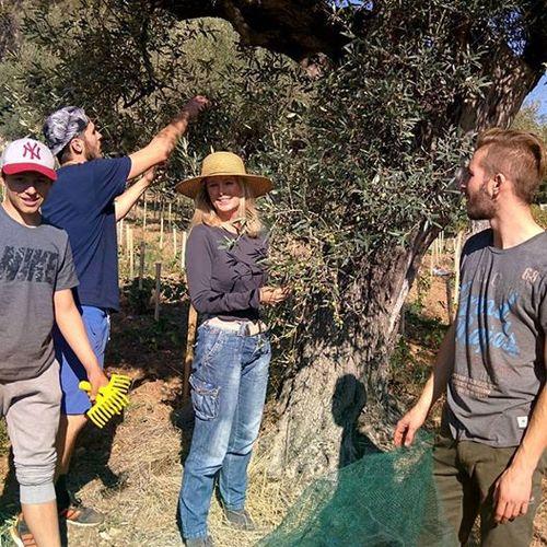Oliveharvest.jpg