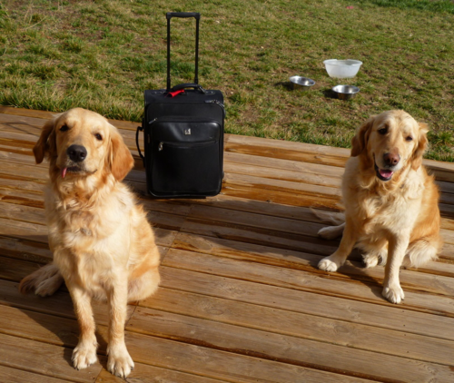 carry-on suitcase and golden retrievers