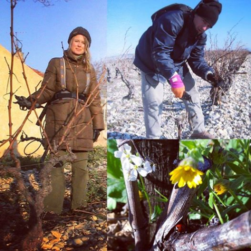 Kristi and jean-marc using secateurs to tailler or prune the vines in winter