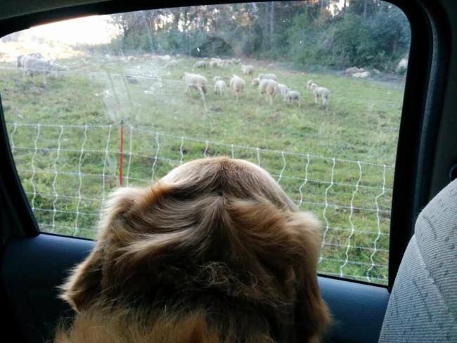 Smokey sheep