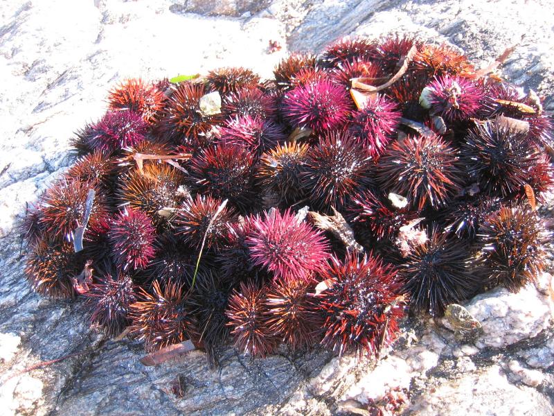 Sea-urchins