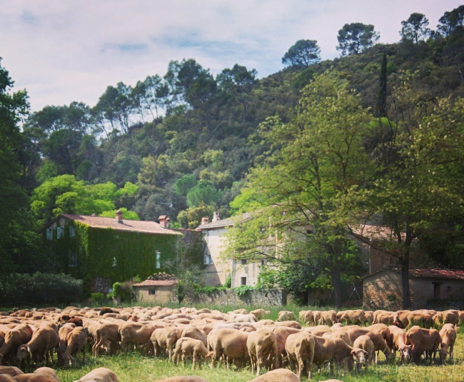 Flock-of-sheep-and-farmhouse-or-mas-in-Lorgues-France