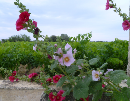 pink, red, hollyhocks, rose tremiere rhone vineyard france domaine rouge-bleu