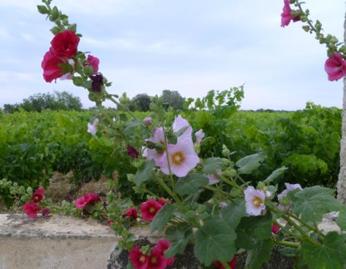 pink, red, hollyhocks, rose tremiere rhone vineyard france domaine rouge-bleu