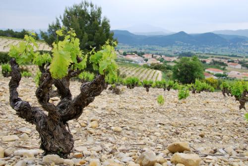 Rasteau old French vine trunk feuilles vignes vineyard