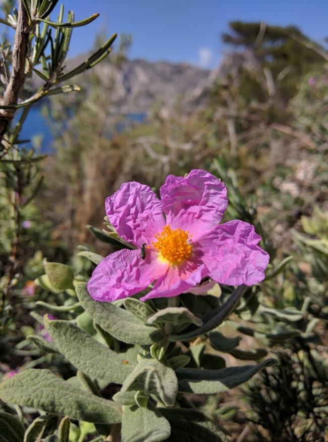 Ciste flower