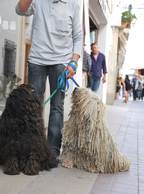 Rasta fur Hungarian puli dog