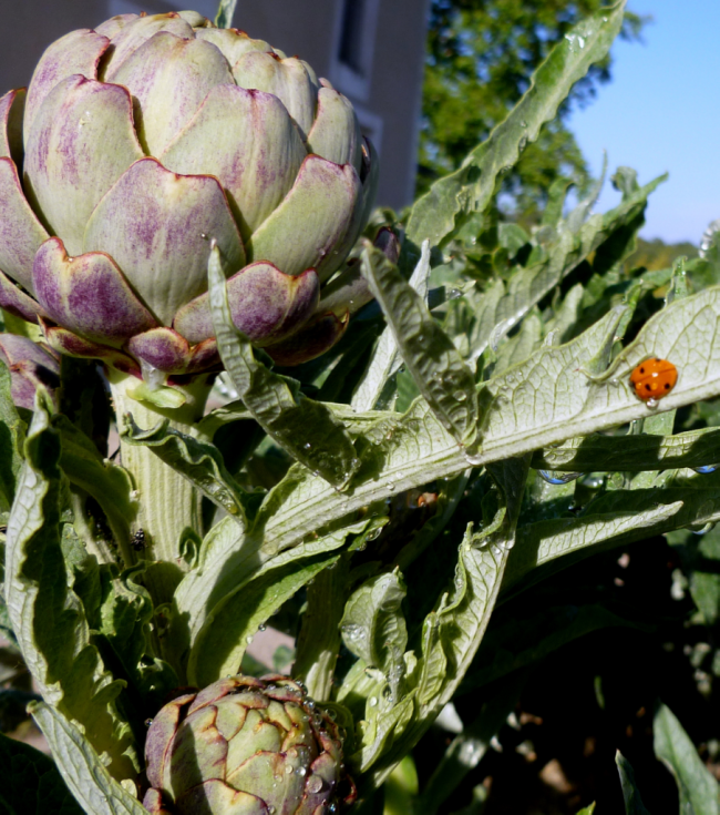 Artichoke and lady bug coccinelle