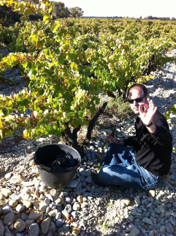 Harvesting grenache grapes in France Cote du Rhone