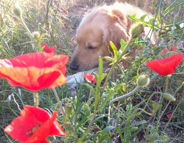 Golden retriever and poppies veterans day armistice remembrance