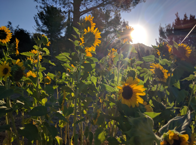 Sunflowers or tournesol from our vineyard