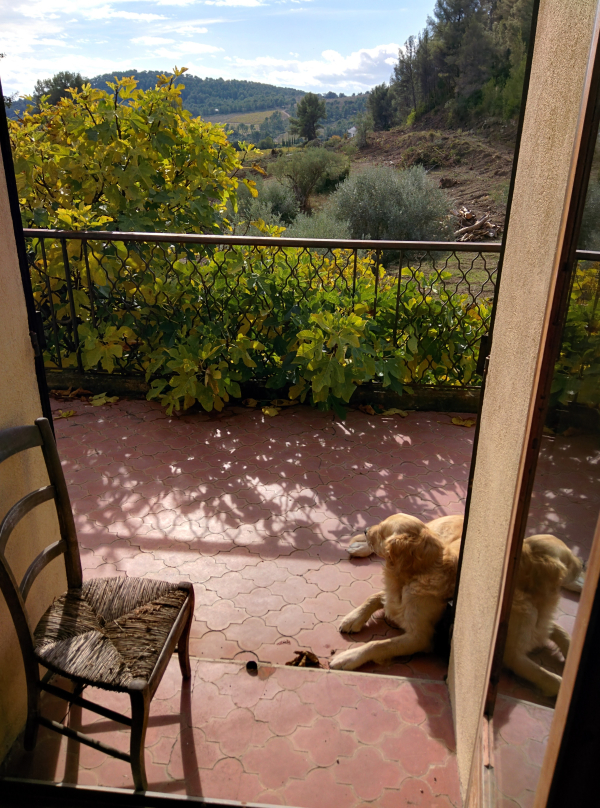 Golden retriever Smokey resting on the balcony overlooking the vineyard and hills