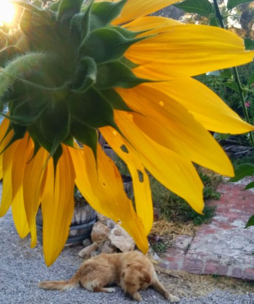Sunflower tournesol golden retriever smokey
