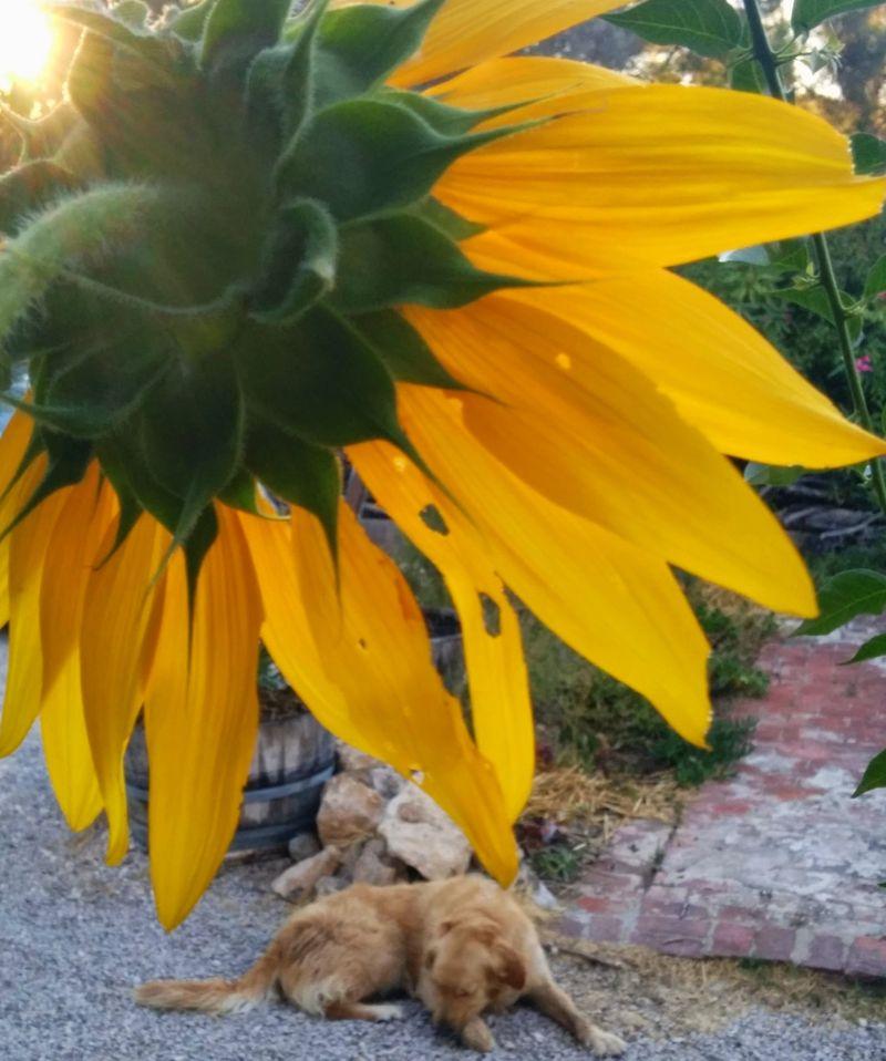 Sunflower tournesol golden retriever smokey
