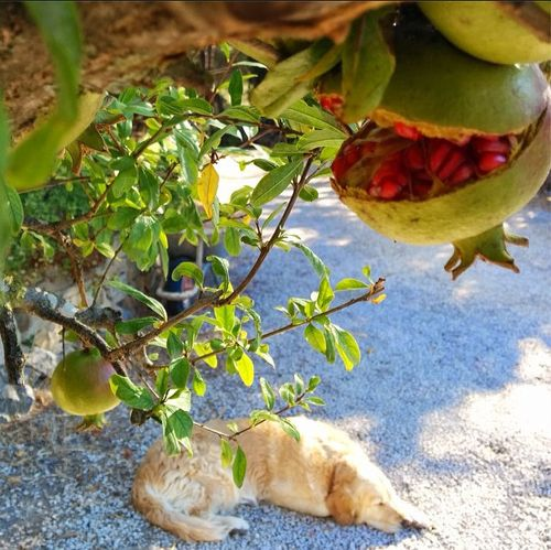 Pomegranate tree grenadier and golden retriever