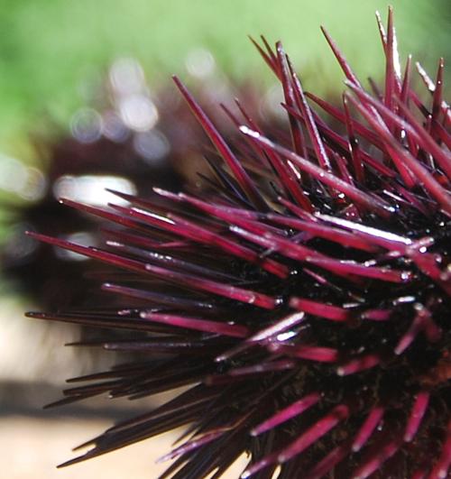 Oursin Sea Urchin (c) Kristin Espinasse