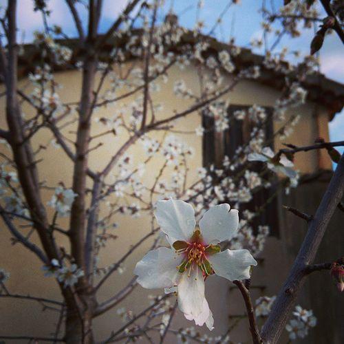 Almond-blossoms