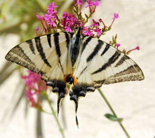 Butterfly in france