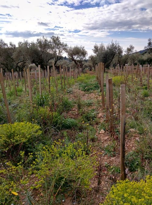 Euphorbia-in-vines