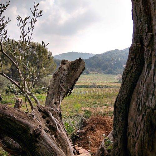Olive-tree-and-vines