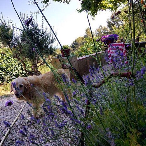 Lavender-grown