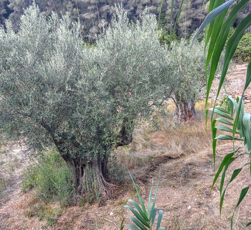 Olive-tree-limb