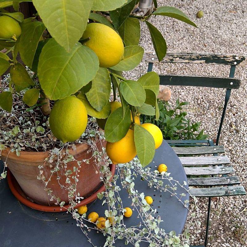 Lemons-and-guava