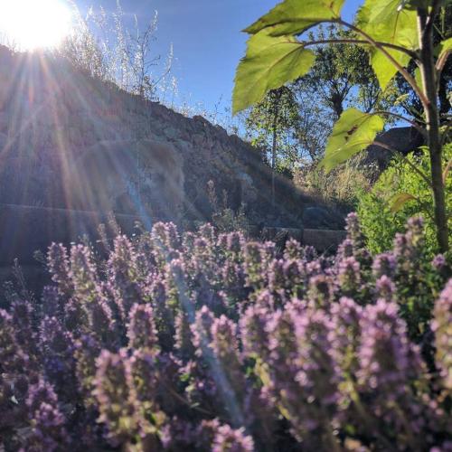 Sunshine-lavender