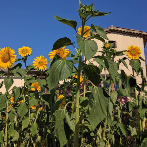 Our-home-sunflowers