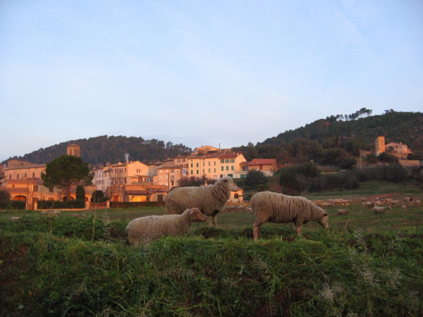 Sheep or moutons grazin in a field in the medieval village of Les Arcs sur Argens France