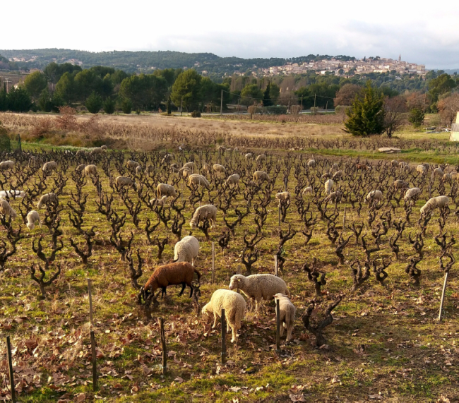 sheep moutons grazing in Domaine Tempier vineyard beneath La Cadiere d Azur