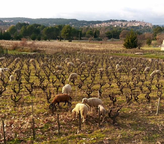 sheep moutons grazing in Domaine Tempier vineyard beneath La Cadiere d Azur