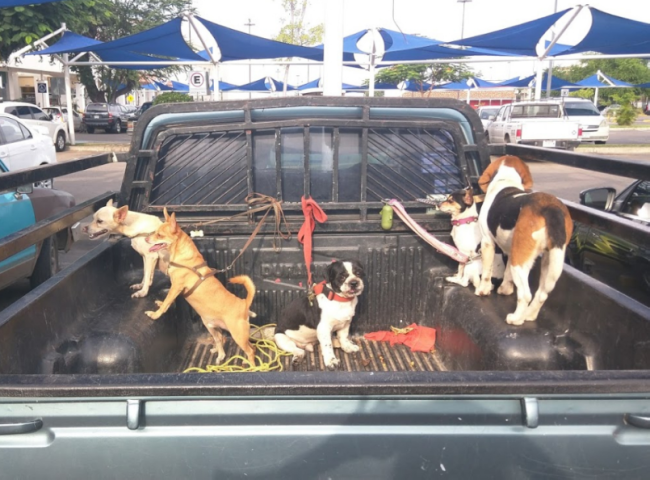 dogs in truck bed hound chihuahua, bulldog, jack russell, mexico, leashes tents