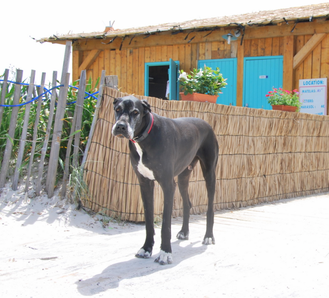 Great dane in Giens near Hyérès Estagnole beach