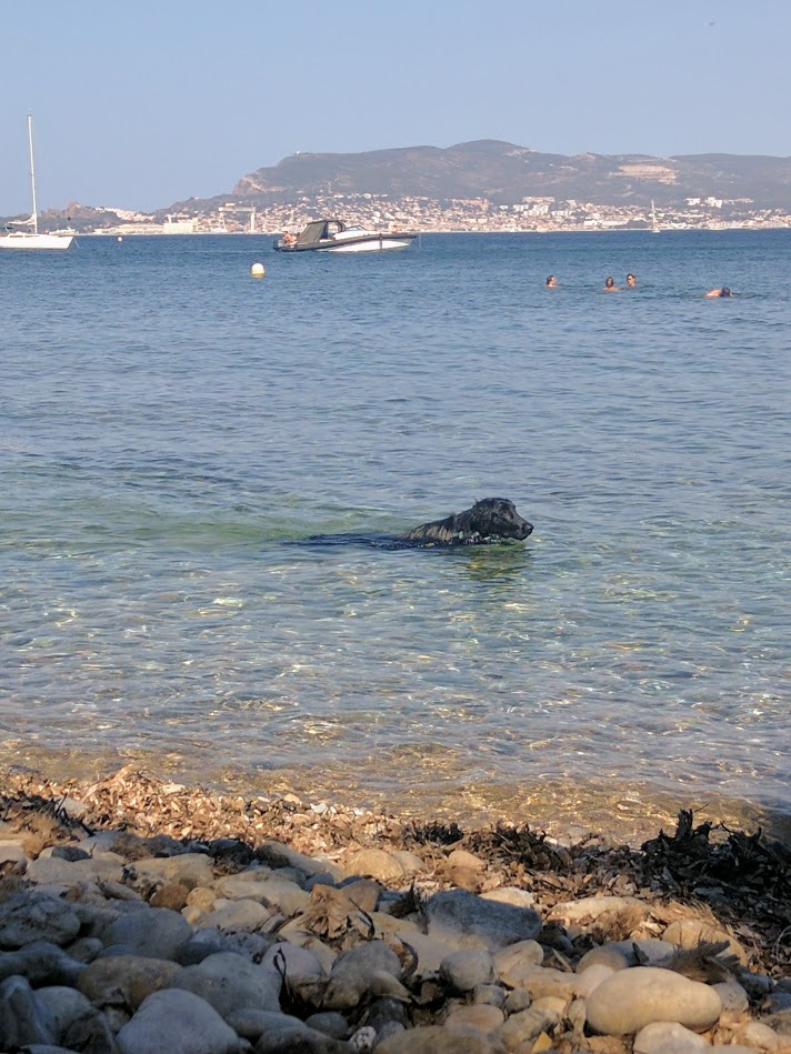 Black lab swimming in the mediterranean