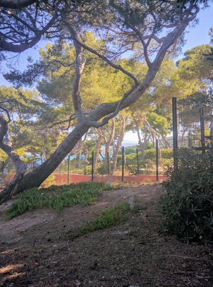 Parasol pines at La Madrague port