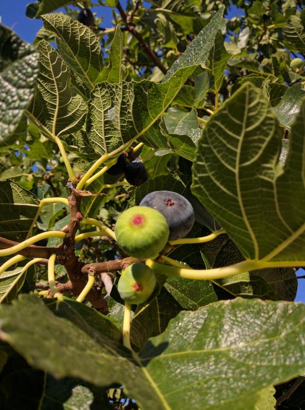 Glaner figs
