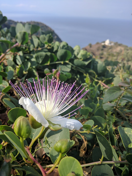 Caper bush on Corsica with capers and flowers