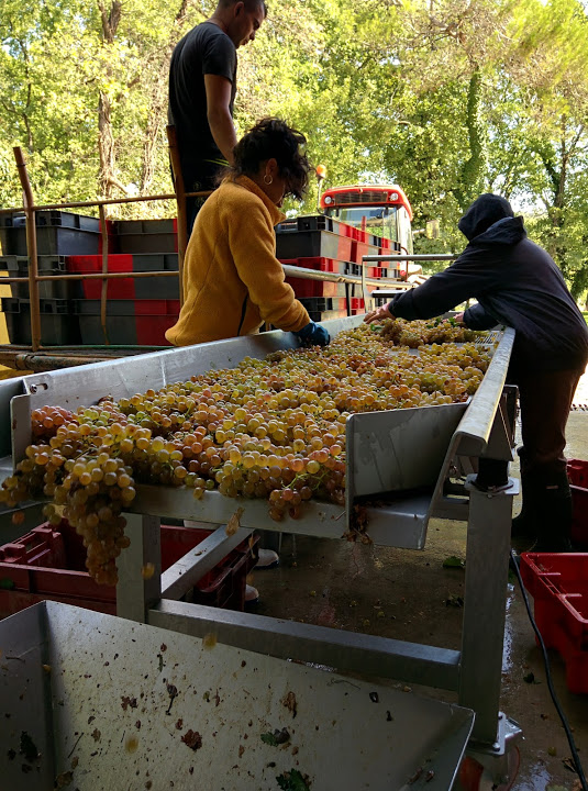 Sorting grapes at La Mascaronne winery in France