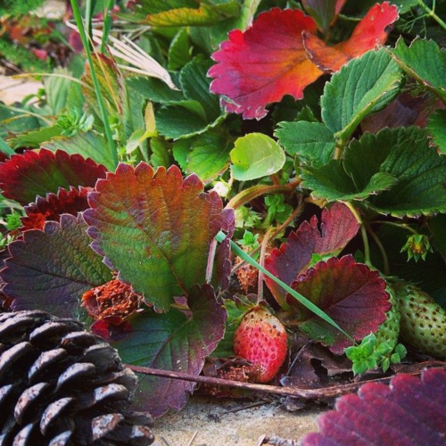 Strawberries and permaculture garden in France.