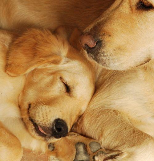 Braise and Smokey, golden retriever dogs