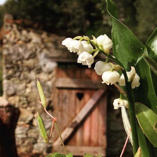 Muguet or lily of the valley for May 1st in France or premier mai en france. (c) Kristin Espinasse