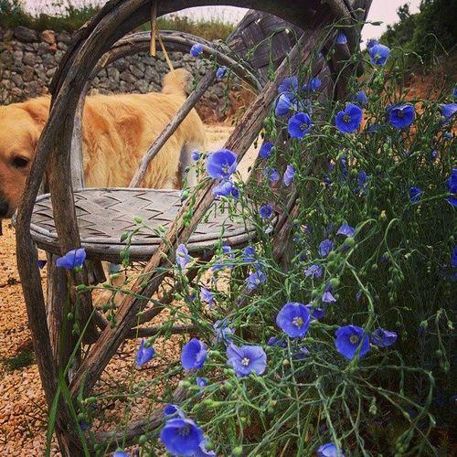 Smokey-and-flax-flowers