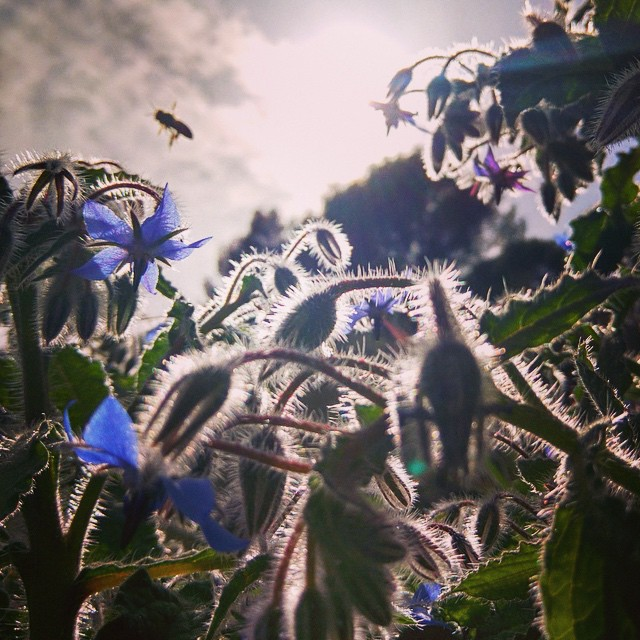 Borage-bee