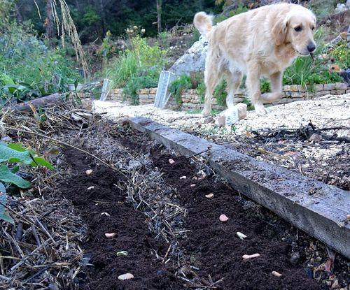 Fava-planting-october