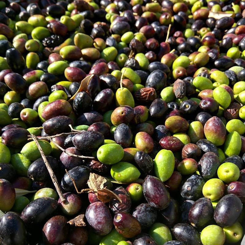 Olive-2015